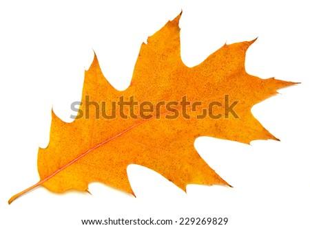 Autumn oak leaf isolated on white background - stock photo