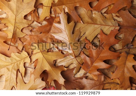 Autumn oak leaves - stock photo