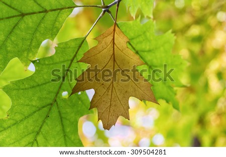 Autumn oak leaves. - stock photo