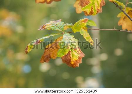 Autumn oak leaves - stock photo