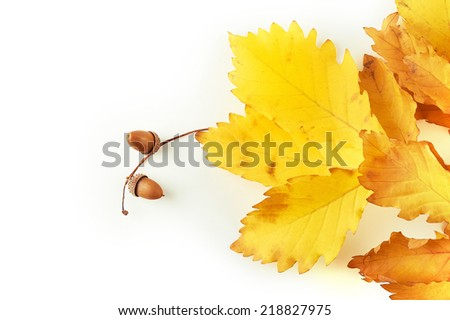Autumn oak leaves and acorns - stock photo