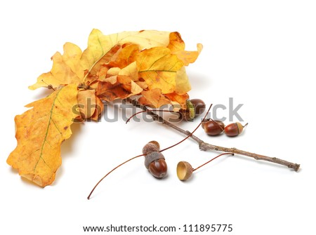Autumn oak leaves and acorns on white background - stock photo