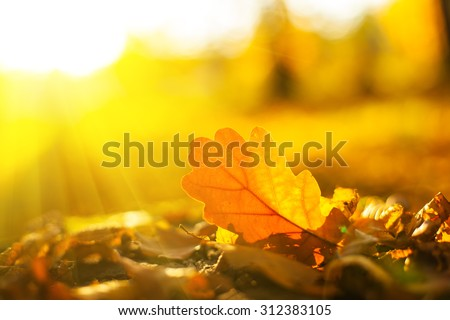 Autumn oak leaves in sunrise light. Natural background. - stock photo