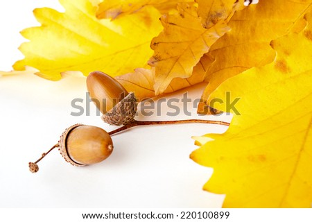 Autumn oak leaves with two acorns - stock photo