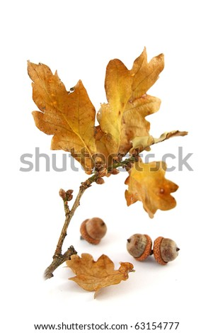 autumn oak twig and acorns on white background, selective focus - stock photo