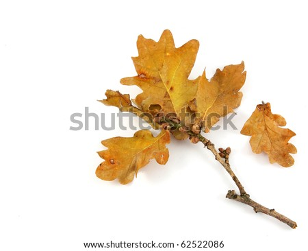autumn oak twig with yellow leaves on white - stock photo