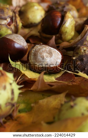 Autumn or fall colours seeds of the Horse Chestnut or conkers - stock photo