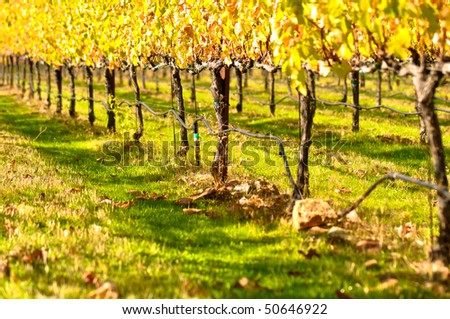 Autumn or Fall Vineyard with Colorful Leaves - stock photo