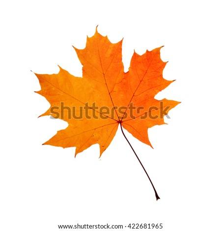 Autumn orange maple leaf - stock photo