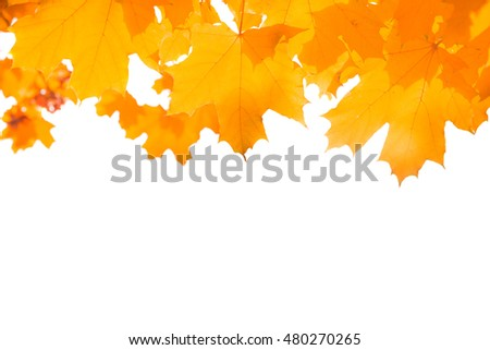 Autumn orange maple leaves isolated on white background
