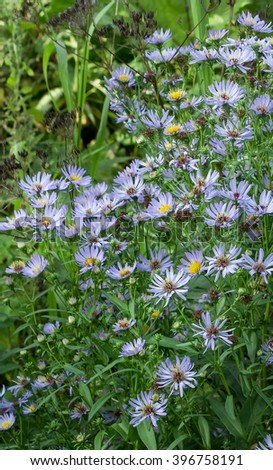 Autumn perennial aster blue on a green background. - stock photo