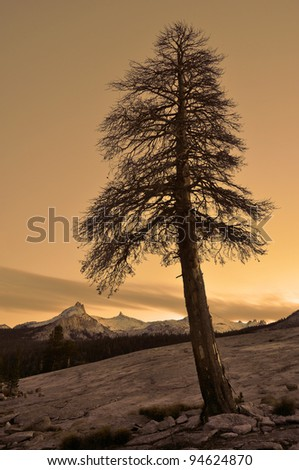 Autumn Pine at Dusk Yosemite National Park, California - stock photo