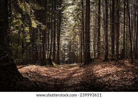 Autumn pine forest path at sunset - stock photo