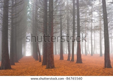 autumn pine tree forest in a mist - stock photo