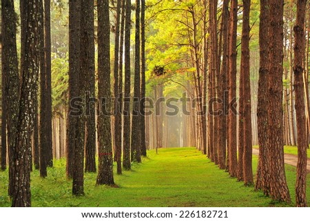 Autumn Pine Tree Forests - stock photo