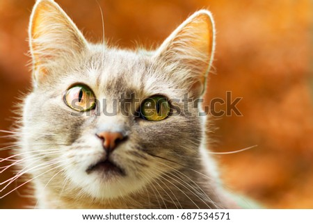 Autumn portrait of a cute gray cat on an orange background atmosphere of a very beautiful pore of the year