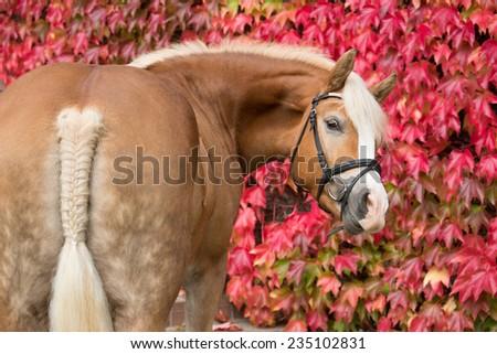 Autumn portrait of a nice haflinger horse  - stock photo