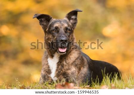 autumn portrait of lying dog - stock photo