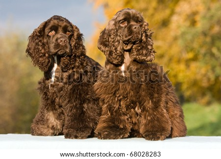 Autumn portrait of two nice american cocker spaniels
