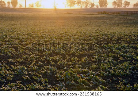autumn rapeseed  seedling  field on farmland and morning sunrise - stock photo