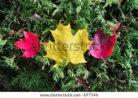 Autumn - Red and Yellow Maple Leafs on green shrubbery - stock photo