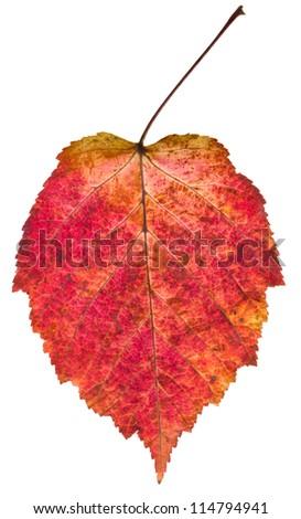 autumn red aspen leaf isolated on white background - stock photo
