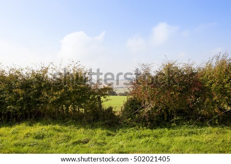 autumn red berries on a hawthorn hedgerow with a gap looking out on to a hazy straw stubble field under a blue cloudy sky in the yorkshire wolds