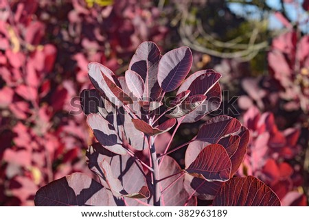 Autumn red color of leaves of cotinus coggygria. Paints of fall. - stock photo
