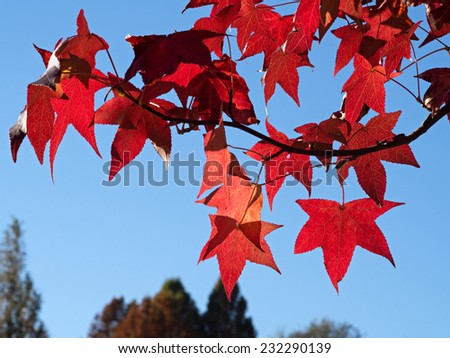 Autumn red leaves and blue sky with some trees - stock photo