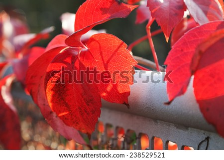 Autumn red leaves with shallow depth of field - stock photo