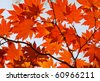 Autumn, red maple foliage - stock photo