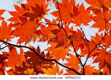Autumn, red maple foliage - stock photo