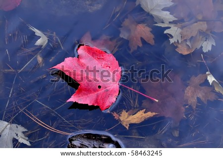 Autumn red maple leaf floating in water. Algonquin Park, Ontario, Canada - stock photo