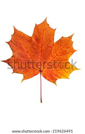 Autumn red maple leaf isolated on white background - stock photo