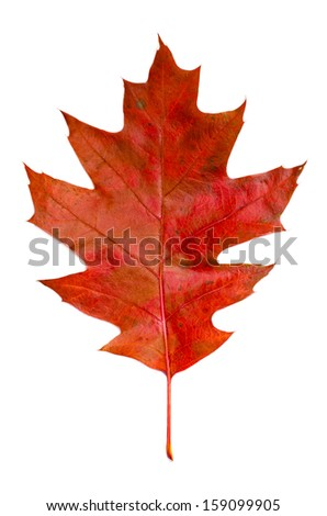 Autumn red oak leaf isolated on white background - stock photo