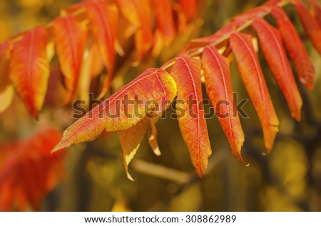 Autumn red tree branch with leaves, natural fall vivid background - stock photo