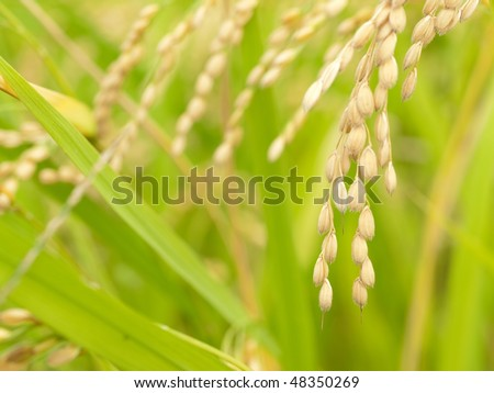 Autumn rice before harvesting - stock photo