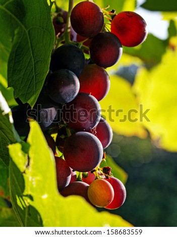 Autumn ripe grapes closeup in the sun - stock photo
