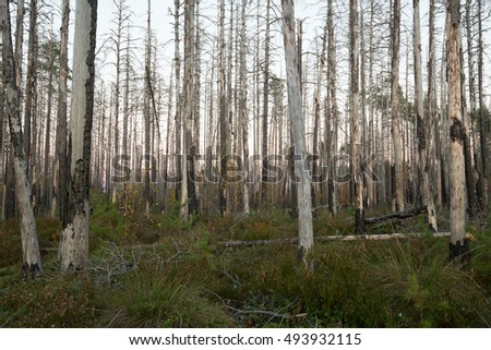 Autumn scene from a burnt pine forest in sweden