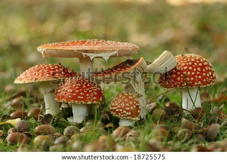 Autumn scene: group of fly agaric mushrooms