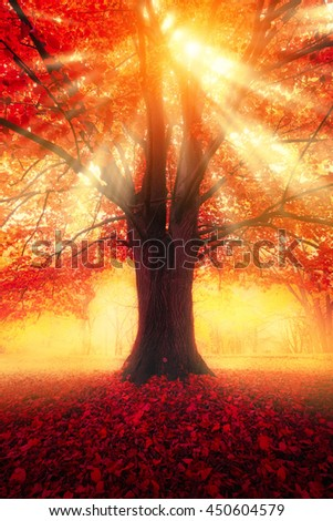 Autumn scene. Tree with red leaves and sun light between branches. Morning in foggy park