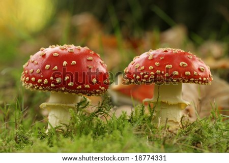 Autumn scene: two toadstools - stock photo