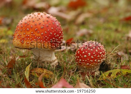 Autumn scene: two toadstools