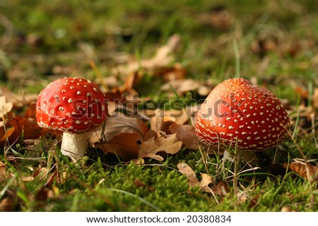 Autumn scene: two toadstools in the grass