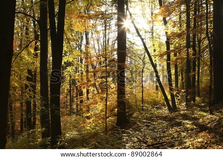Autumn scenery in the beech forest on a sunny October's morning.
