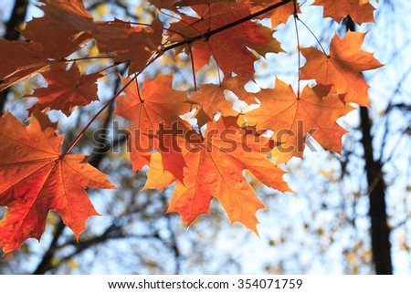Autumn. Seasonal background. Closeup of red maple leaves - stock photo