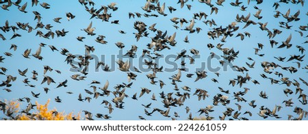 Autumn sky background with flock of bird, starlings - stock photo