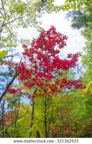 Autumn Sourwood tree  (Oxydendrum arboreum) in the Great Smoky Mountains National Park - stock photo