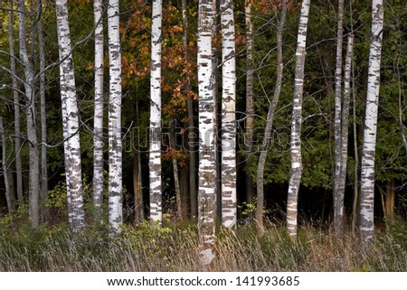 Autumn Stand Warm sunset light on autumn birch trees at Peninsula State Park in Door County, Wisconsin. - stock photo