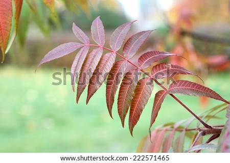 Sumac Leaf Stock Photos, Royalty-Free Images & Vectors - Shutterstock